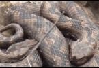 zmije cajetina.mpg.Still001