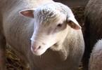 Divac ovce.mpg.Still001
